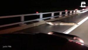 Nietypowa przeszkoda na drodze – [film]